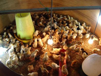 Anak Ayam Kampung Warisan