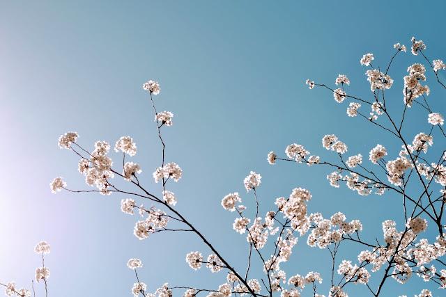 almendro en flor bajo el cielo azul