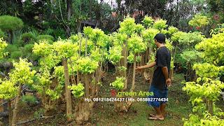 penjual pohon bonsai anting puri dengan harga paling murah kualitas terjamin langsung dari petani