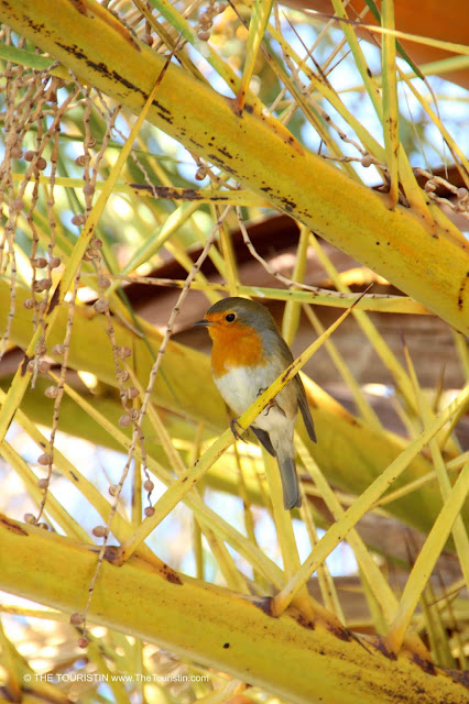A robin showing its red breast prominently, sitting on the branch of a palm tree.