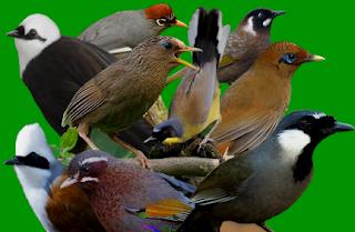 Download Suara Burung Poksay Untuk Masteran