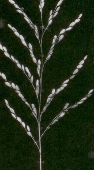 Gambar Malai padi