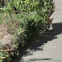 herbs like sage and thyme are overhanging a raised garden bed. A little bunny face, black and orange with a white blaze, is poking out from the shadows underneath the greenery.
