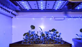 A flat of seedlings under blue LED light.