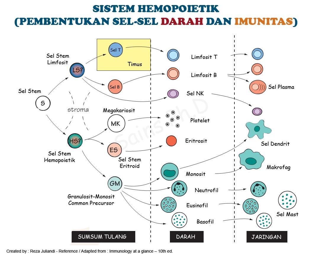 Sistem Hemopoietik