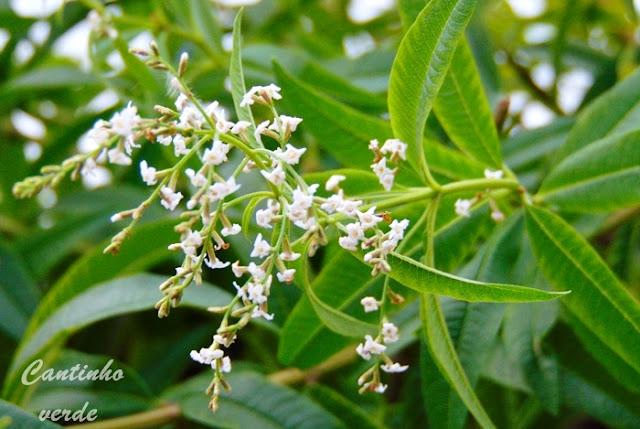 Cultivo e multiplicação do limonete (Lúcia lima)