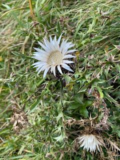 [Asteraceae] Carlina acaulis – Stemless Carline Thistle (Carlina bianca)