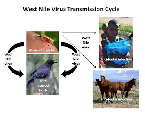 West Nile virus is an arbovirus (short for arthropod borne virus)