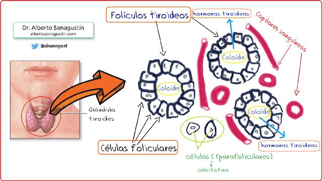 foliculos tiroideos, hormonas tiroideas