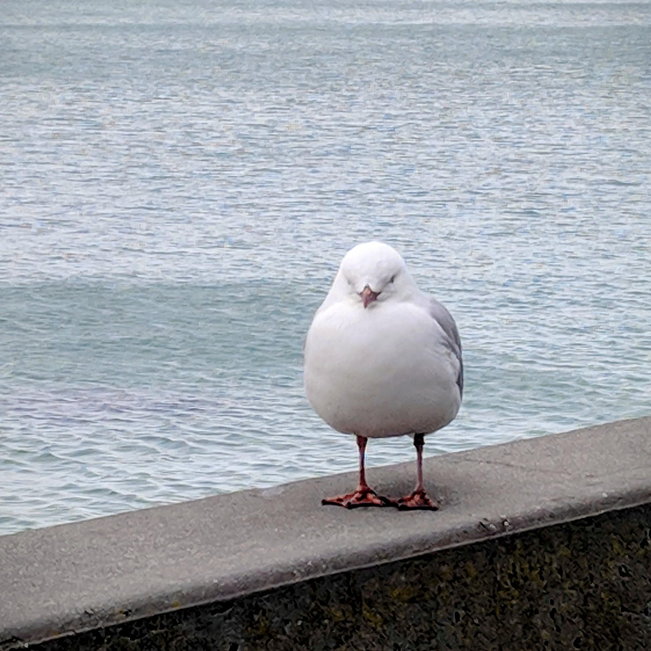 Plump with skinny legs gull