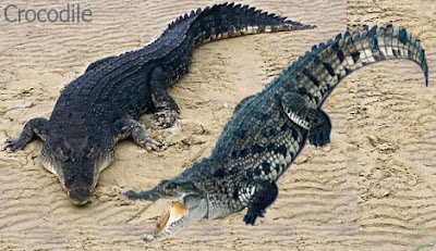 crocodile reptile