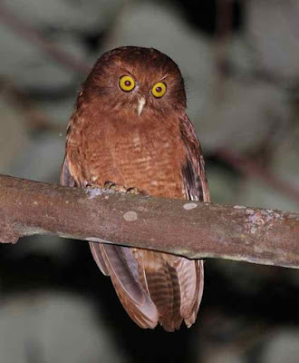 Pungguk merah tua  Burung Hantu Terancam Punah