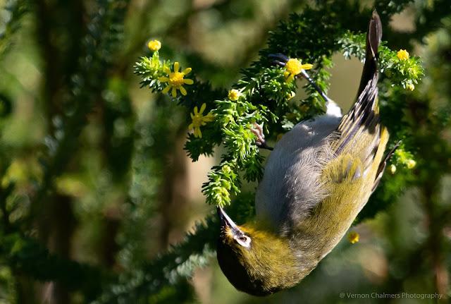 Cape White-Eye Kirstenbosch National Botanical Garden Vernon Chalmers Photography