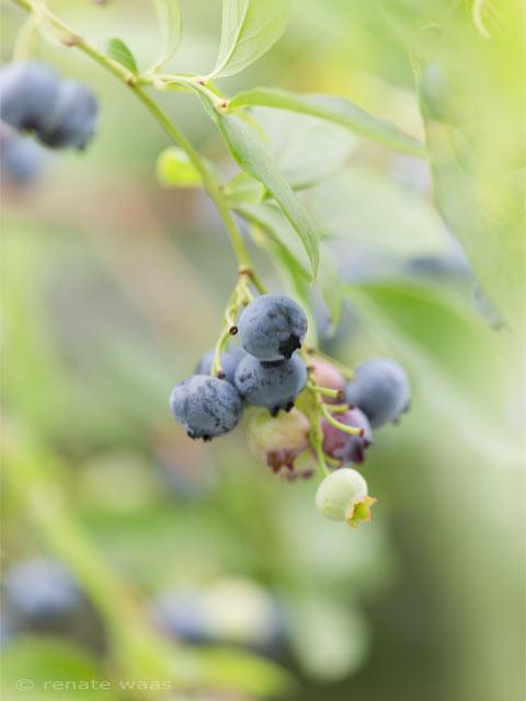 Heidelbeeren - die besten Sorten für den Garten