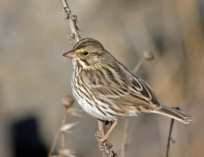 Photo of Savannah Sparrow on a weed stalk