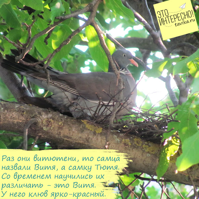 гнездо витютеня