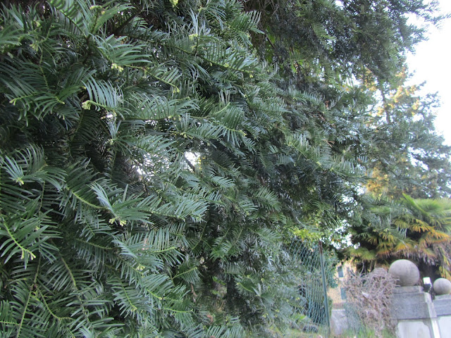 Foglie e Rami Taxus baccata