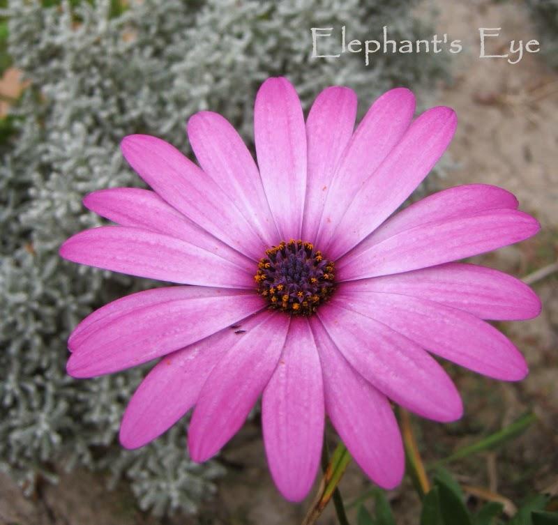 Pink Dimorphotheca jucunda