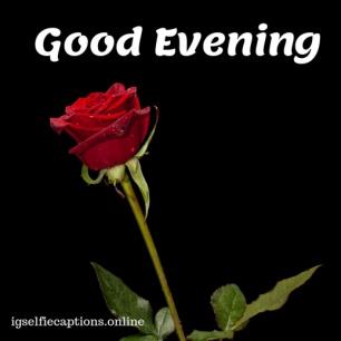 good evening rose photo