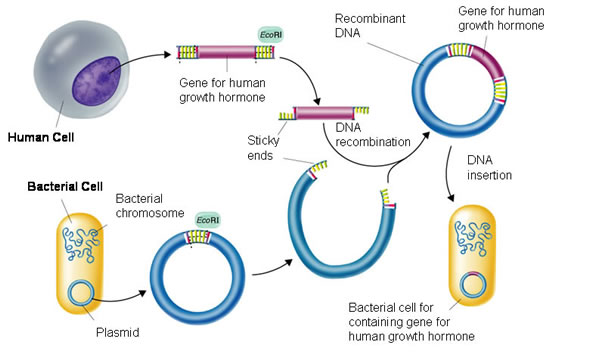 Process of recombinant dna technology genetic engineering recombinant dna technology definition ccuart
