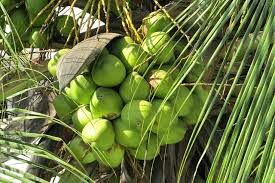 Benefits of Consuming Green Coconut