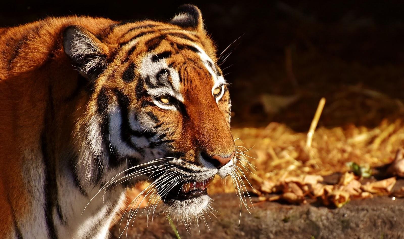 tiger background images hd