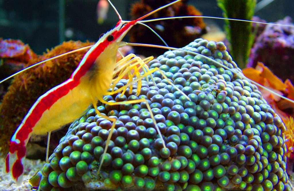 La gamba, un crustaceo