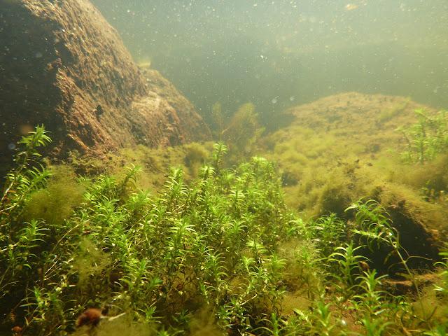 Vesikasveja suuren kiven juurella