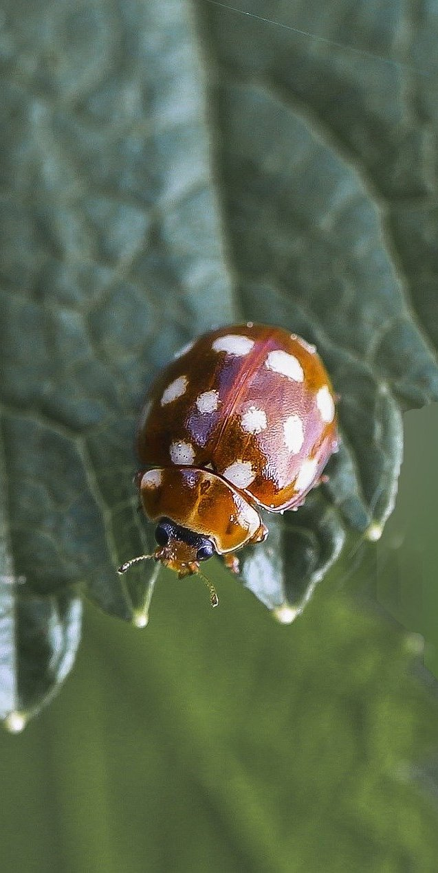 Cream-Spot Ladybird.