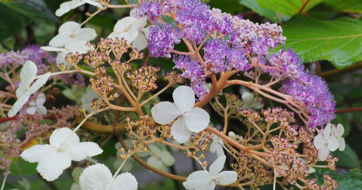 Hydrangea Robusta Care And Culture Travaldo S Blog