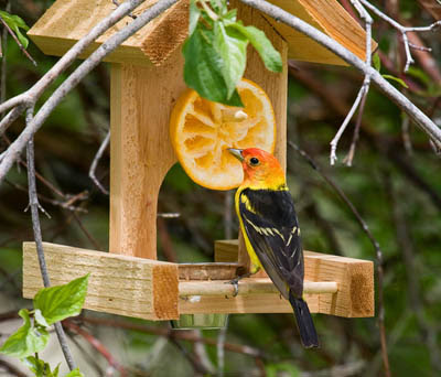 Photo of a Western Tanager at an orange and jelly oriole feeder