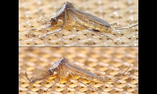 Culex gelidus adults - female above, male below