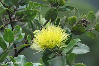 Yellow 'Ohi'a lehua - Lyon Arboretum, Manoa Valley, Oahu, HI