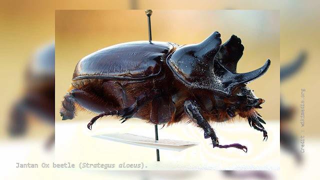 Ox beetle (Strategus aloeus).