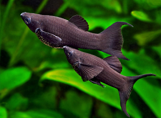Ikan Black Molly