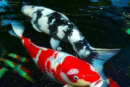 Manfaat Memelihara Ikan Koi Di Rumah