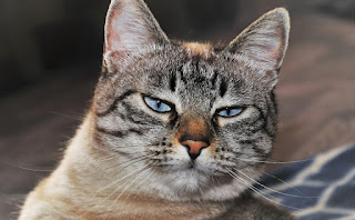 A photograph of the face of a tabby cat with a seemingly doubtful or sceptical expression.