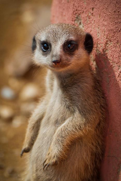 Cute Meerkats Latest Photos-Images