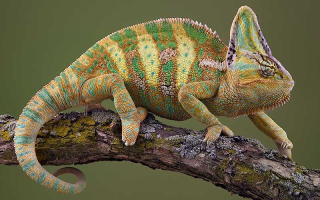 El animal cambia colores para comunicar sus estados de ánimo