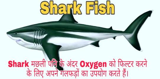 Shark ओर Hammer Head Shark मछली क्या है?