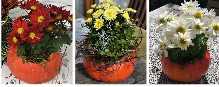 Hokaido Kürbis mit Astern bepflanzt