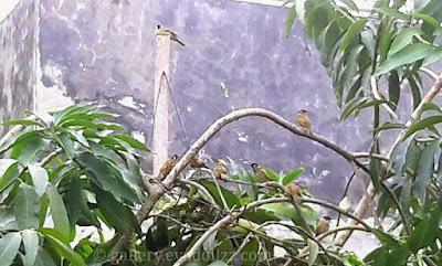 House Sparrow. Burung Gereja pun Bisa Akur - Mengapa Kita Tidak?