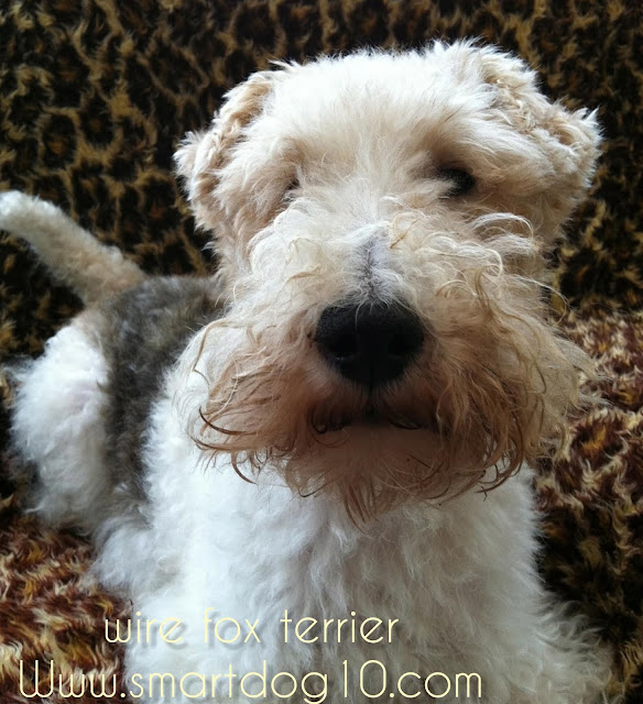 wire fox terrier puppy for sale