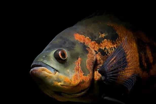 Oscar fish care