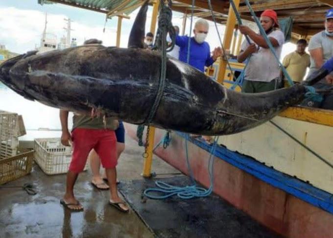 Pescadores fisgam atum azul com mais de 400 Kg no litoral de Areia Branca