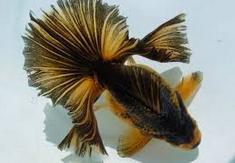 Inilah Jenis Ikan Koki Beserta Gambar Ikan Koki tosakin