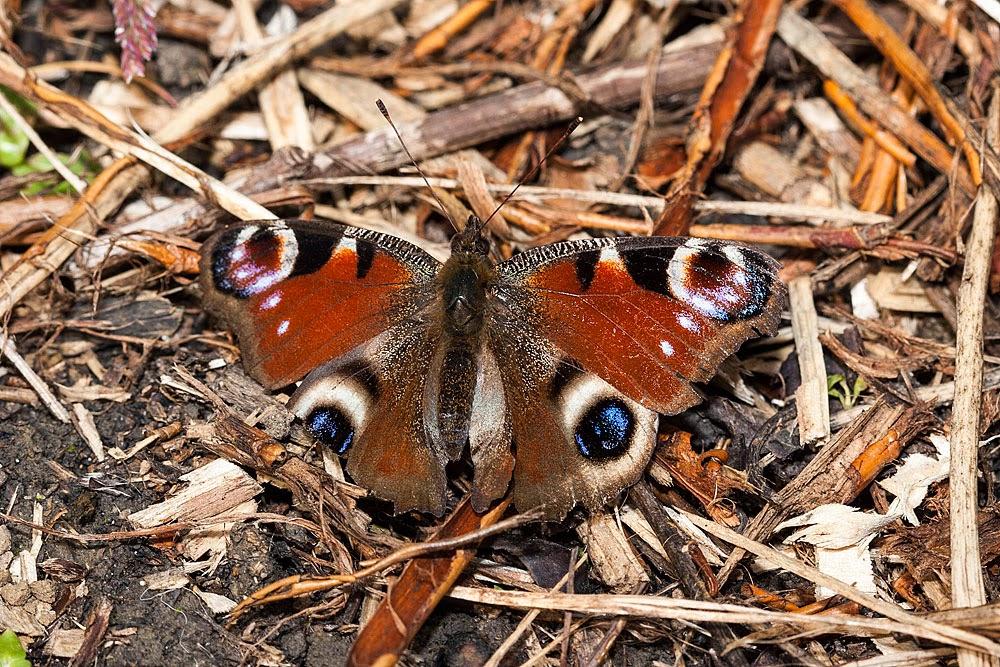 Peacock - Loughton Valley Park, Milton Keynes
