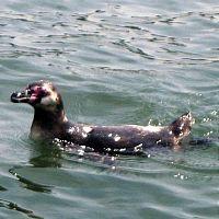 葛西臨海水族園から逃走したフンボルトペンギン確保!