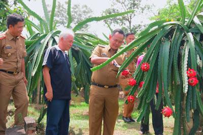 Kebun Buah Naga Kampoeng BW, Agrowisata Potensial di Pringsewu