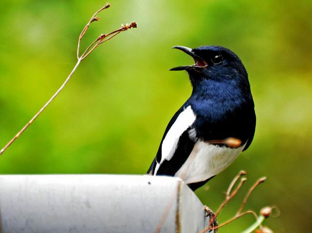Download Suara Burung Kacer Gacor Mp3 Lengkap
